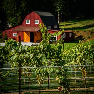 A vineyard in the foreground with a pretty red barn in the background.