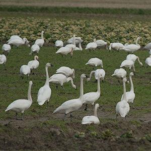 Port Susan Snow Goose and Birding Festival February 25 – 26