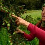Kelsi Franzen points to new growth on a Douglas Fir